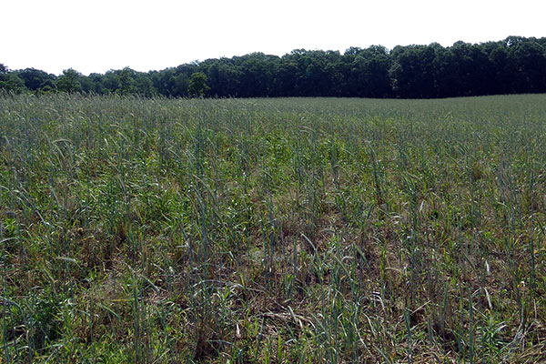 A meadow in its first growing season, prior to first trimming.
