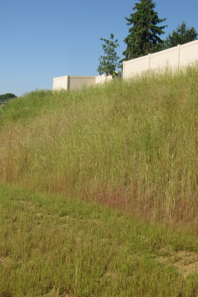 A steep slope mix consisting primarily of native grasses for erosion control