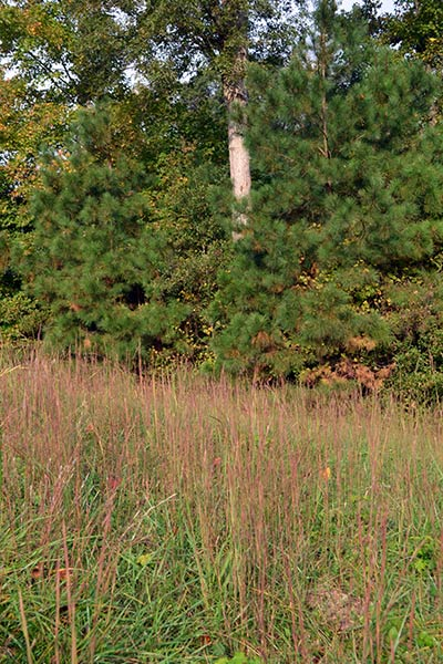 This southern meadow features a combination of Andropogon (Bluestem) species.