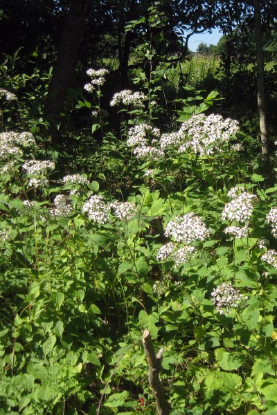 Blooming from July through October, Aster macrophyllus (Bigleaf Aster) adds high pollinator value to forest edges and buffer areas.