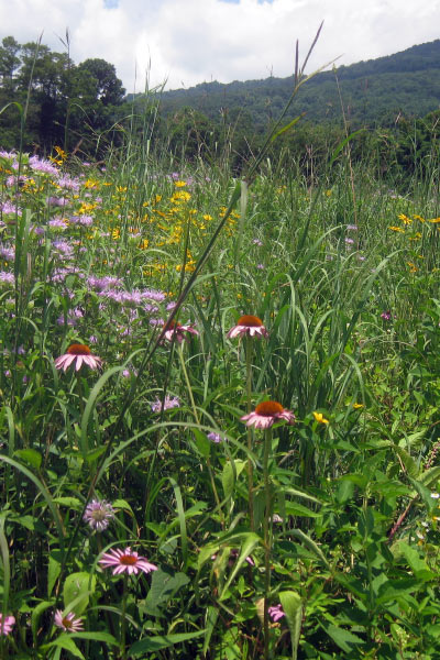 Coneflowers abound in this valley meadow