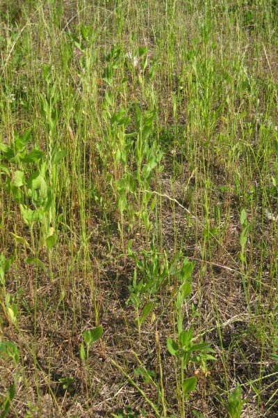 Germination of a steep slope seed mix during the first growing season for erosion control