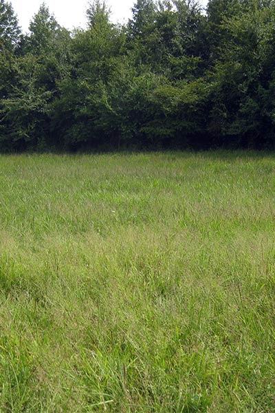 North Carolina wet meadow with Panicum anceps (Beaked Panicgrass) and Panicum rigidulum (Redtop Panicgrass).