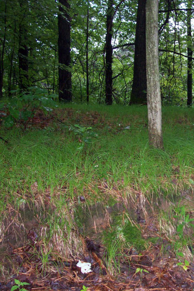 Carex pensylvanica (Pennsylvania Sedge) tolerates sandy soils and makes ideal ground cover in mature forests, such as this stand in New York's Albany Pine Bush.