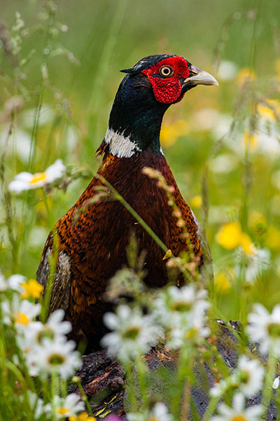Ringneck pheasant rooster in mix of grasses and forbs.