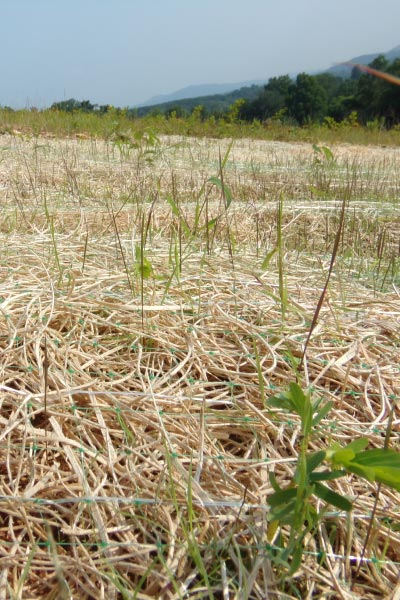 Seedlings poke through the straw mat of a recently seeded disturbed site