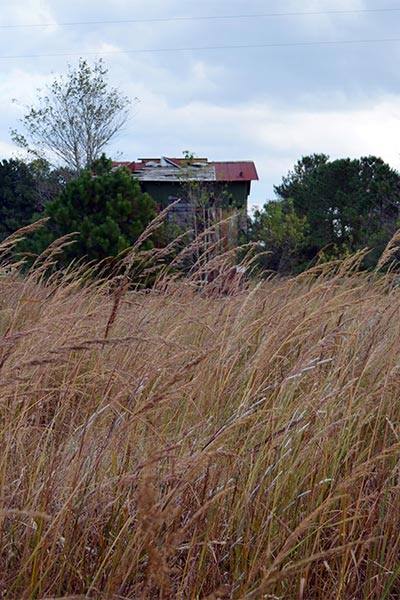Sorghastrum nutans (Indiangrass) is a highly versatile warm season grass, useful as a forage for livestock, attractive in landscapes and provides habitat for birds, butterflies and other wildlife.
