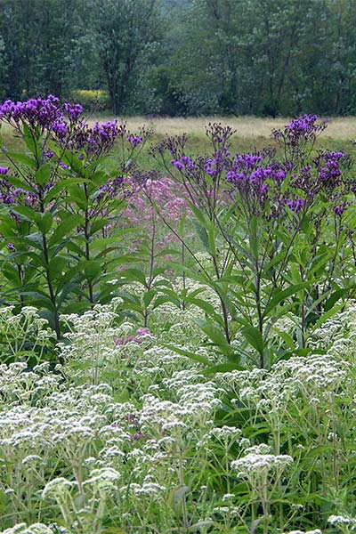 Wet meadow punctuated with Eupatorium perfoliatum (Boneset), Eupatorium fistu/osum (Joe Pye Weed) and Vernonia gigantea (Giant lronweed).