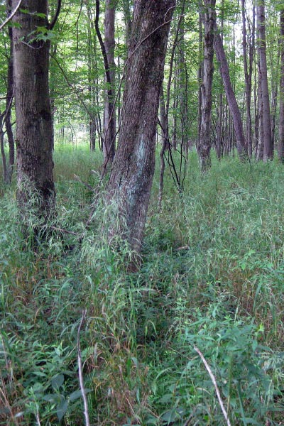 Cinna arundinacea (Wood Reedgrass) provides excellent wildlife cover and forage opportunities in forested wetlands.