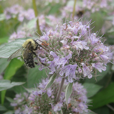 A bumblebee covered in the pollen from this Pycnanthemum incanum (Hoary Mountainmint) flower