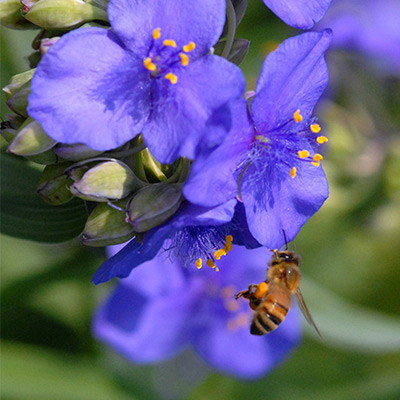 Bee-on-Tradescantia-ohiensis-(Ohio-Spiderwort)