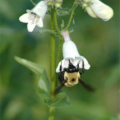 Bee-pollinating-a-flower
