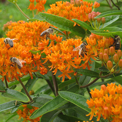 Bees-on-Butterfly-Milkweed