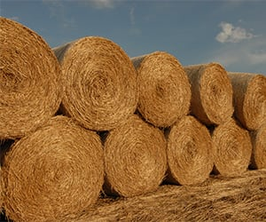 Big-Bluestem-harvested-bales