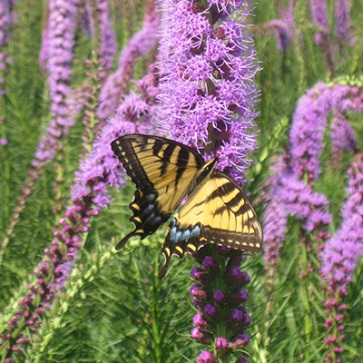 Liatris spicata (Marsh-Blazing-Star) provides great pollinator habitat for a swallowtail butterfly