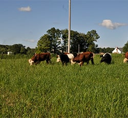 Cows-in-Switchgrass-Field