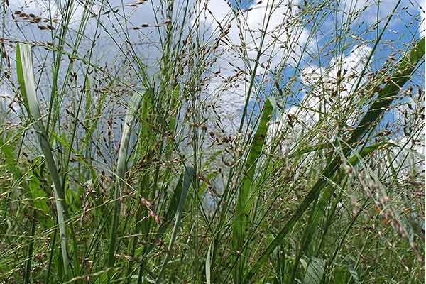 Ernst Seeds plants foundation Switchgrass