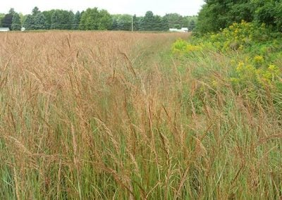Indiangrass