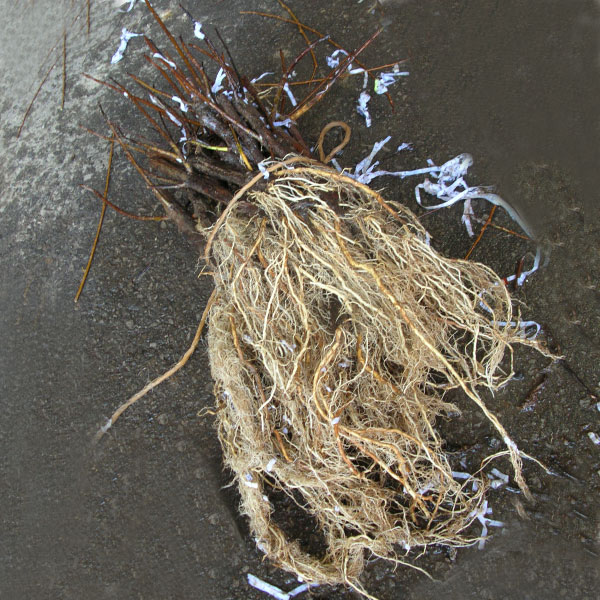 Rooted Cuttings used in a bioengineering project.