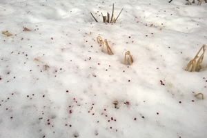 Mother Nature's frost seeding: staghorn sumac (Rhus typhina) seeds on the snow.