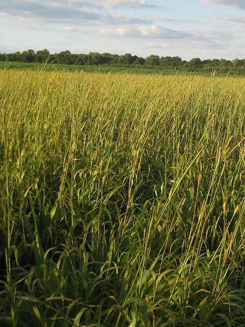 Tripsacum dactyloides, 'Bumpers' (Eastern Gamagrass, 'Bumpers') whole plant/field shot