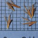 Schizachyrium scoparium, Long Island-NY Ecotype (Little Bluestem, Long Island-NY Ecotype) seed
