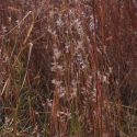 Schizachyrium scoparium, Long Island-NY Ecotype (Little Bluestem, Long Island-NY Ecotype) seed head