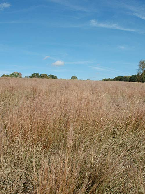 Schizachyrium scoparium, Long Island-NY Ecotype (Little Bluestem, Long Island-NY Ecotype) whole plant/field shot
