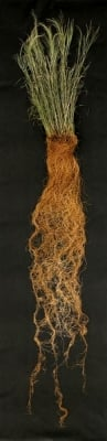 A detail showing the deep, expansive and fibrous root system of switchgrass.