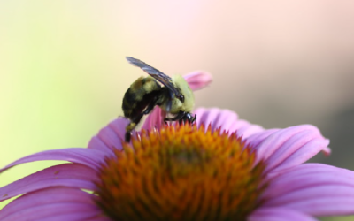 Understanding the Nutritional Needs of Bees Can Help Drive Pollinator Conservation Toward Better Outcomes