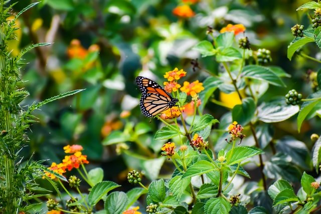 A Tribute to The Monarch Butterfly: How to Turn Your Backyard Into a Butterfly Sanctuary