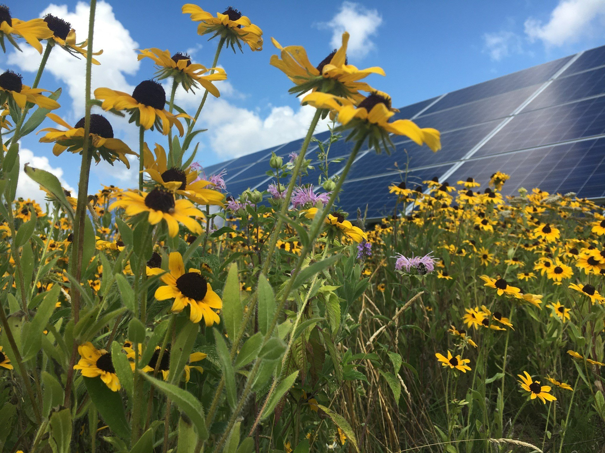 Creating Low-Impact, Pollinator-Friendly Solar Energy Sites with Native Seeds